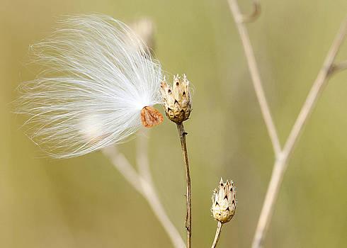 Lone Milkweed Seed by Laura Greene