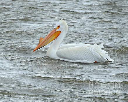 Lone Pelican by Kathy M Krause