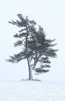 Lone Pine in Snowstorm by Barbara McMahon