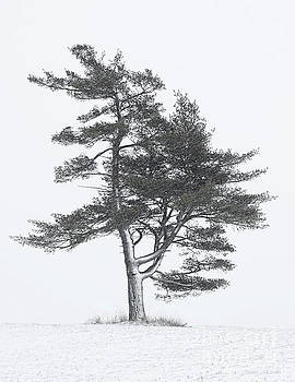 Lone Pine in Winter Storm by Barbara McMahon