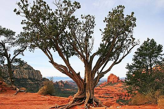 Lone Pinon Pine by Gary Kaylor