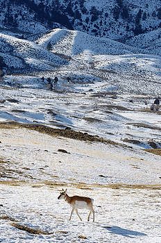 Reimar Gaertner - Lone Pronghorn Antelope in winter at Old Yellowstone Trail South