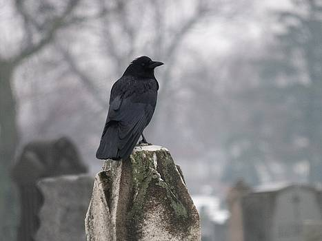 Lone Raven On A Rainy Day by Gothicrow Images