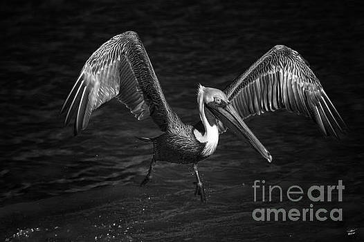Lone Pelican in flight - black and white by Stefano Senise