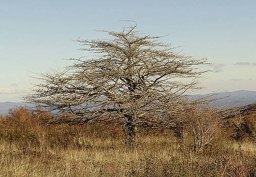 Lone Tree by Carol Phipps