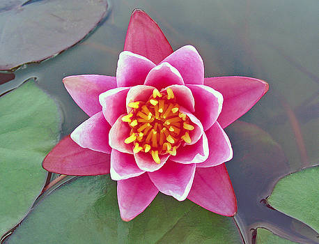 Allan Levin - Lone Water Lily and Symmetry