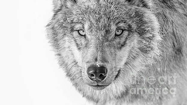 Lone Wolf by Heather Swan