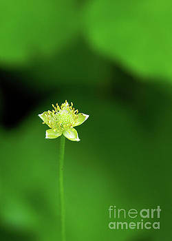Lonely Avens by Robin Clifton