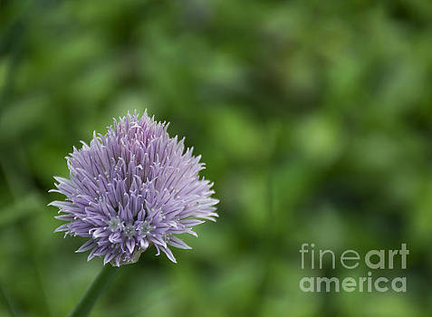 Lonely Chive by Robin Gayl