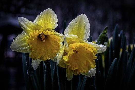 Lonely Daffodils by Luis Rosario