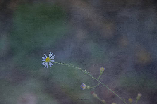Lonely Daisy Looking For You by Crissy Anderson