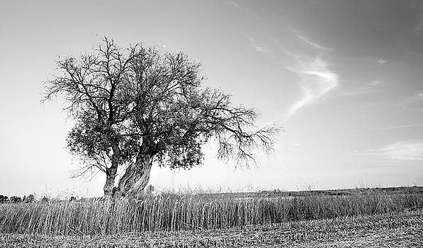 Lonely olive tree in a field by Michalakis Ppalis