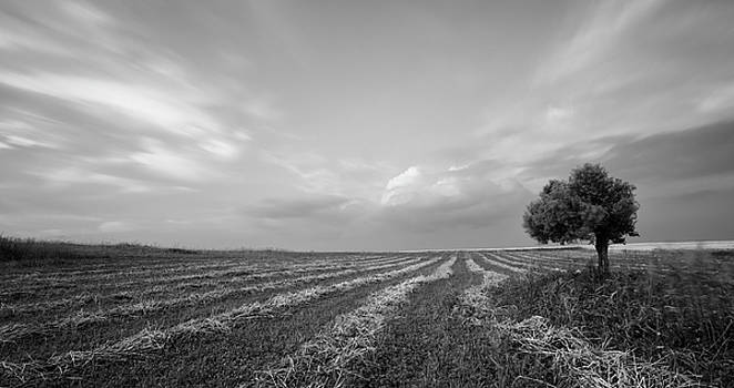 Lonely Olive tree in a green field   by Michalakis Ppalis