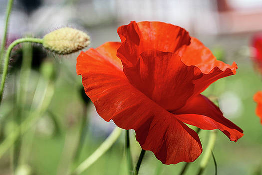 Lonely Poppy by Linda Foakes