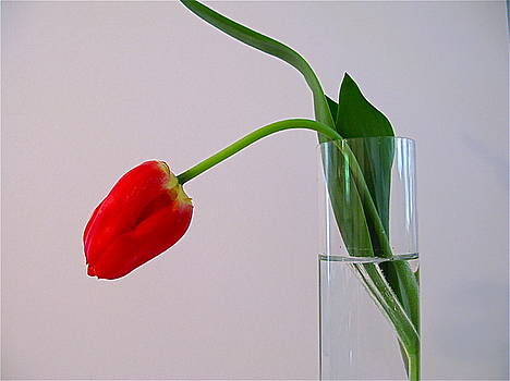 Lonesome Tulip 2 by Myron Schiffer