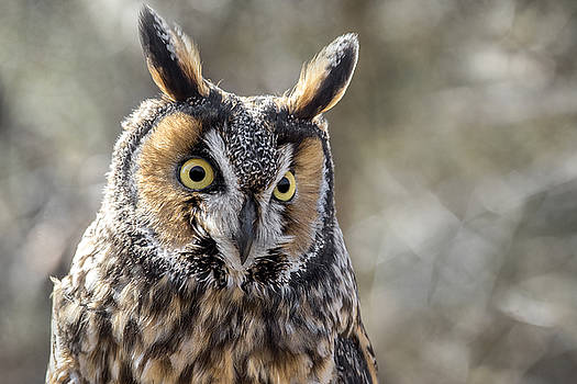 Long Eared Owl by Angie Rea