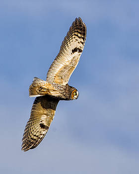 Long-eared Owl in Flight by Christopher Ciccone