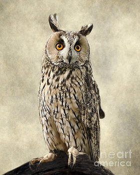 Long Eared Owl by Linsey Williams