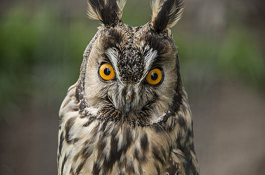 Martina Fagan - Long-eared Owl