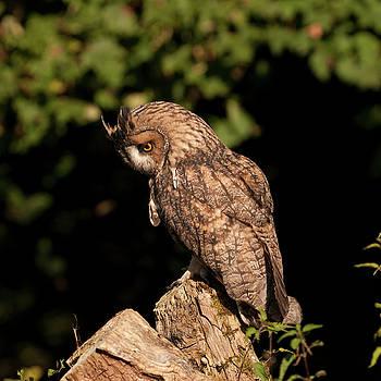 Long Eared Owl by Suesy Fulton