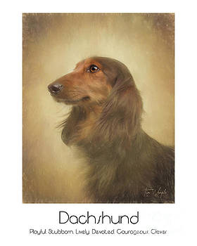 Long Haired Dachshund Poster by Tim Wemple