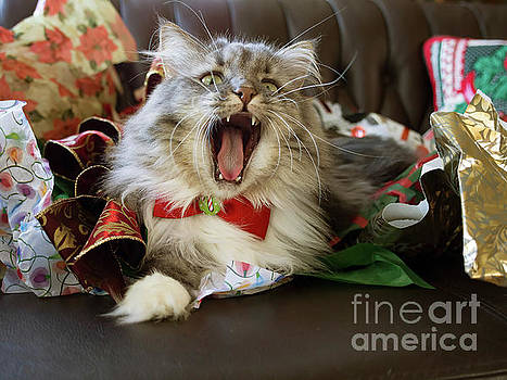 Long haired grey and white A cat yawns amid Christmas wrapping paper by Louise Heusinkveld