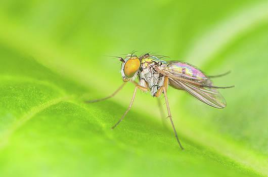 Long-legged Fly by Derek Thornton