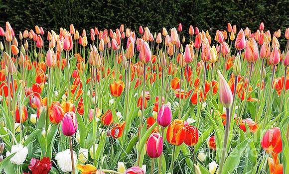 Compuinfoto - long orange tulips in Holland