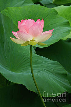 Long Stem Lotus Beauty by Byron Varvarigos
