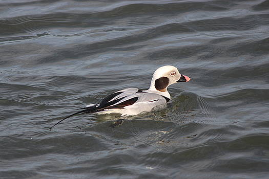 Long Tailed Duck by Danielle Gareau