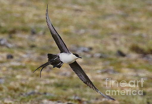 Long-tailed Jaeger flight by Myrna Bradshaw