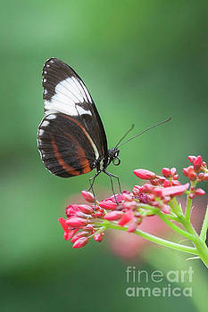 Long-wing on pink flowers by Ruth Jolly