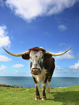 Longhorn and Sea by Mark Stokes