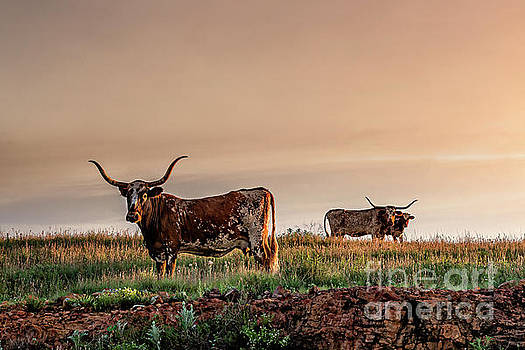 Tamyra Ayles - Longhorn at Sunset