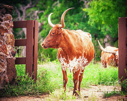Longhorn in the Texas Hill Country by Katya Horner
