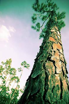 Jonathan Hansen - Longleaf Pine1