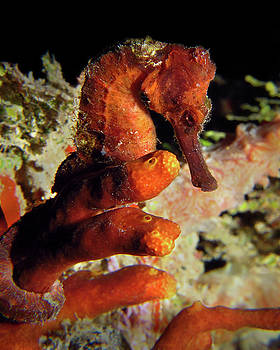 Pauline Walsh Jacobson - Longsnout Seahorse, St. Croix, U.S. Virgin Islands 2