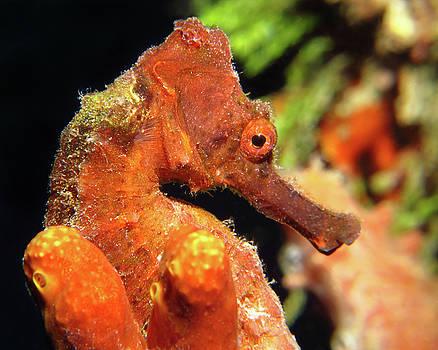 Pauline Walsh Jacobson - Longsnout Seahorse, St. Croix, U.S. Virgin Islands 3
