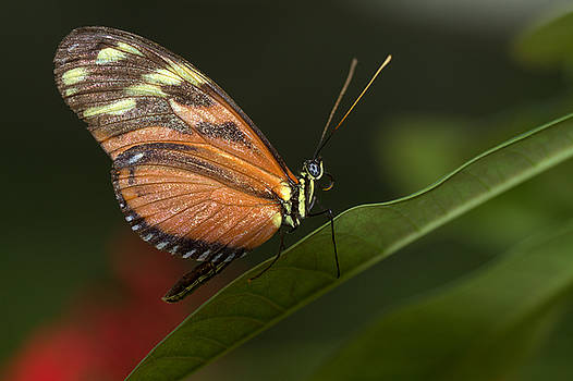 Longwing atop a green leaf by Ruth Jolly