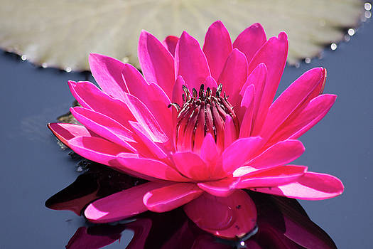Longwood Hybrid Water Lily by Mark Michel