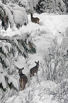 Cindy Murphy - NightVisions - Looking Back White Tail Deer ID