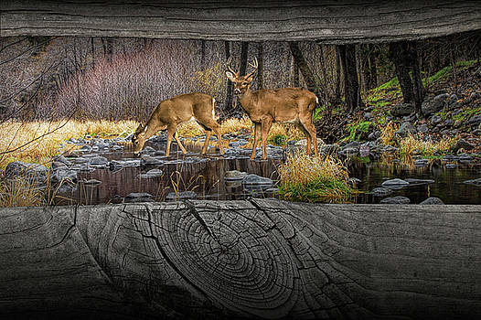 Randall Nyhof - Looking between the Fence Rails at Two White-Tail Bucks