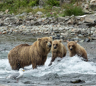 Looking for Sockeye Salmon by Cheryl Strahl