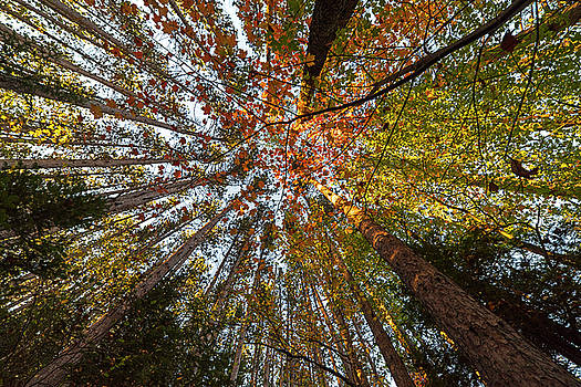 Toby McGuire - Looking up at the trees Adirondack Log Keene Valley NY New York