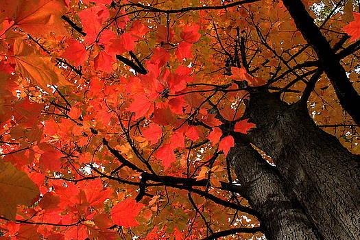 Rosanne Jordan - Looking Up Autumn