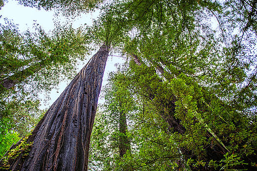 Looking Up - Humbolt Redwoods State Park - California by Bruce Friedman