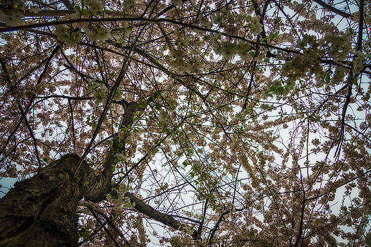 Chris Bordeleau - Looking up through the Cherry Blossoms