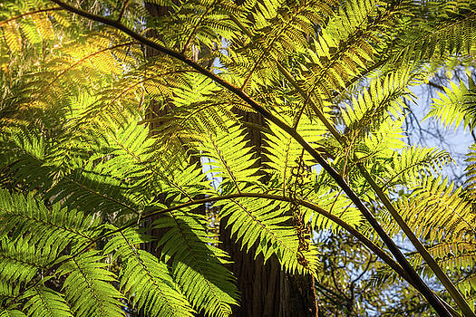 Looking up to a beautiful sunglowing fern in a tropical forest by Daniela Constantinescu
