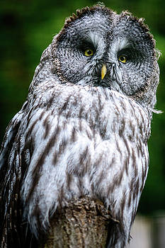 Looking Ural owl by Libor Vrska