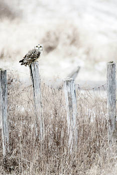 Lookout Short Eared Owl  by Tracy Winter
